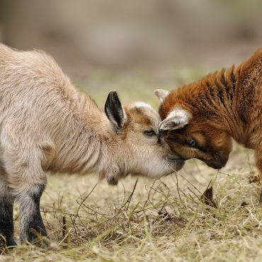 Dutch pygmy goats