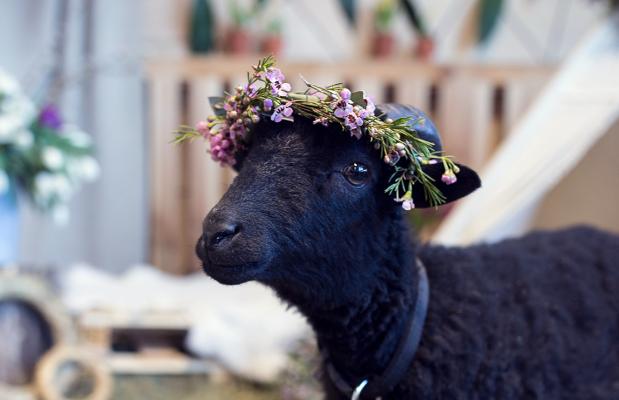 Zoopark žvaigždė - avinėlis Zoro