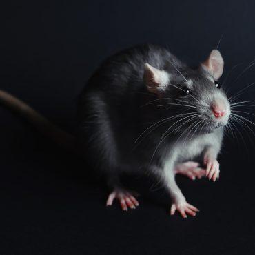 Naminė žiurkė