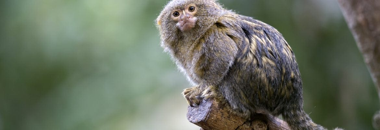 Nykštukinė marmozetė