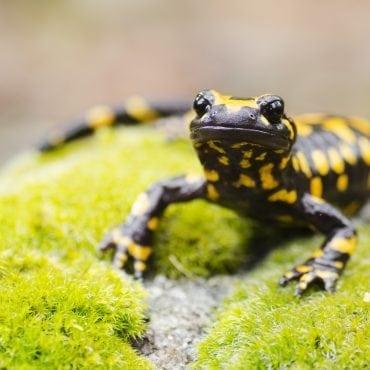 Ugninė salamandra