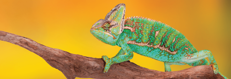 Jemeno chameleonas