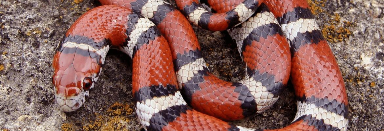Karališka gyvatė
