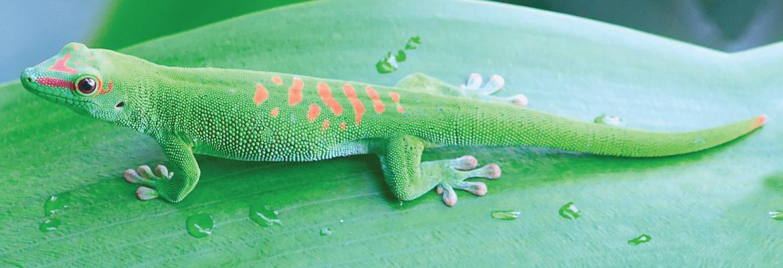 Madagaskaro dieninis gekonas