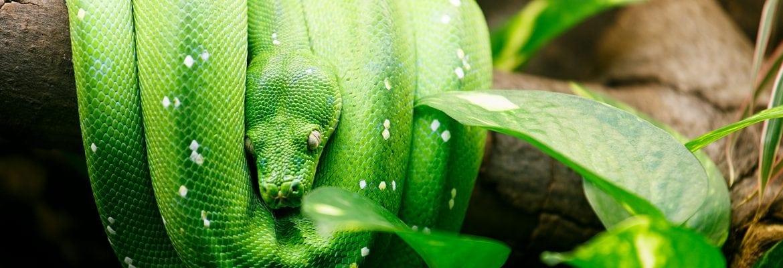 Žaliasis medžių pitonas