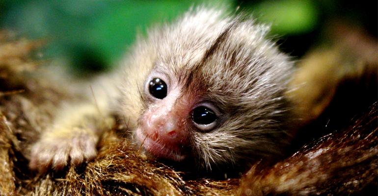 Vilniaus zoologijos sode išgelbėtas genties paliktas beždžionės naujagimis