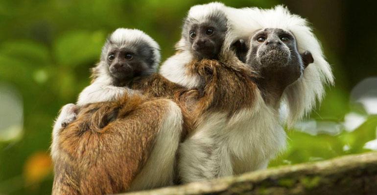 Naujos Zooparko gyventojos – Perukinės Tamarinos