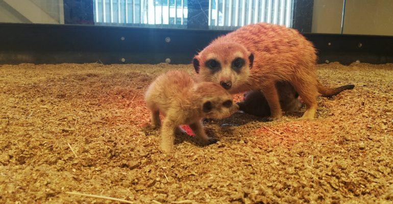 Vilniaus Zooparke – surikatų jaunikliai